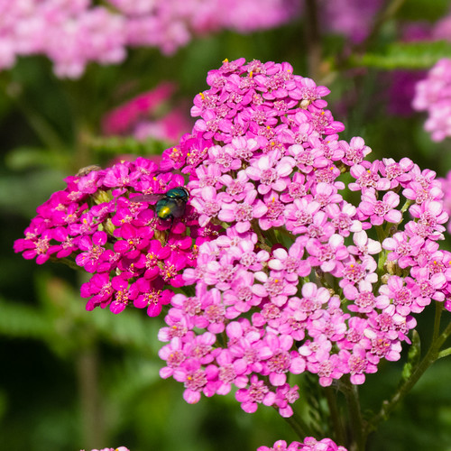 Pink yarrow, green fly