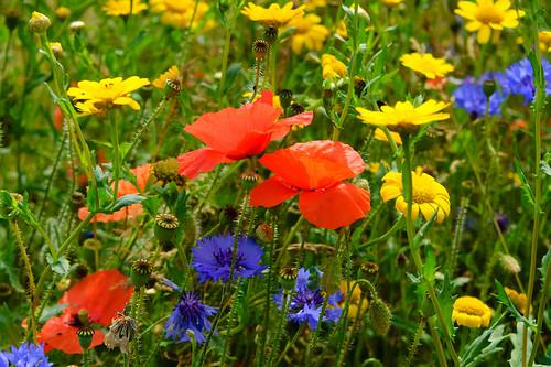Wildflower Meadow, Bantock Park