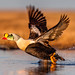 king Eider by Eric Gofreed