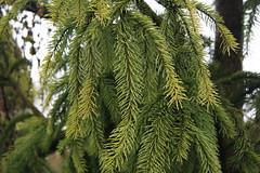 Picea abies-54