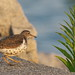 Small photo of Spotted Sandpiper (Actitis macularius)