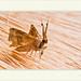 Polilla - Moth por J. Amorin