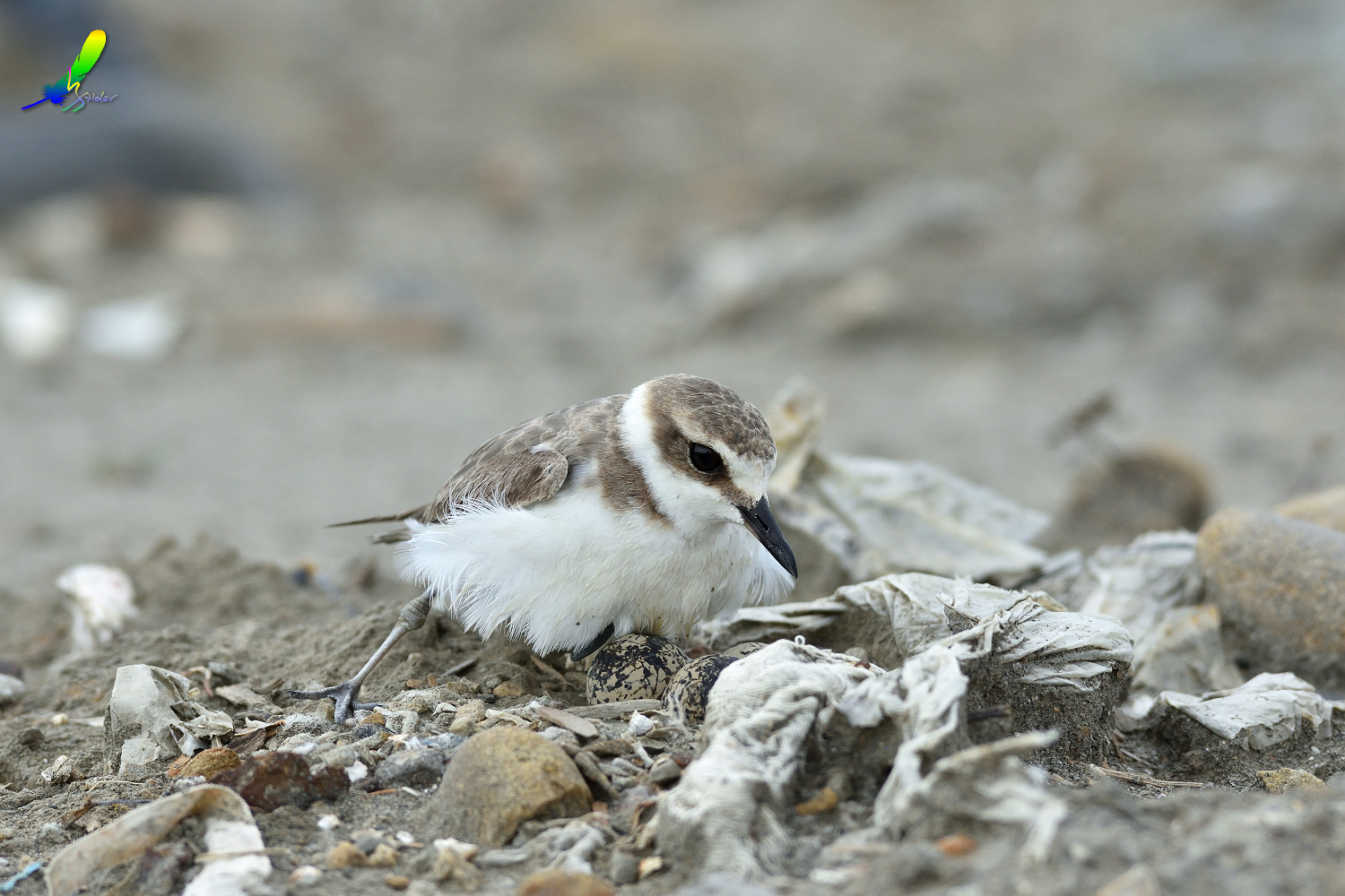 Kentish_Plover_8660