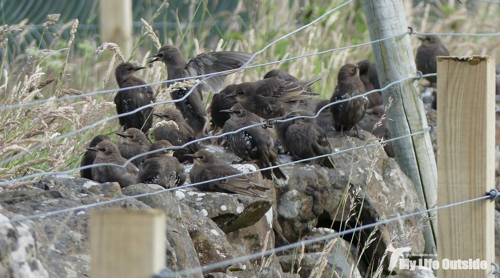 P1100110 - Starlings, Glengorm