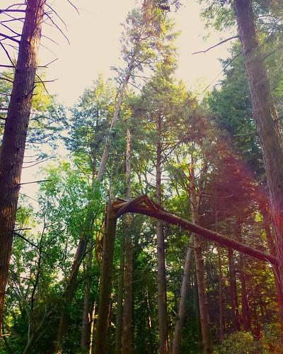 Tornado damage 4. Broken like pencils. #tornado #ChestnutRidge #wny #OrchardPark #summer #hiking #nature