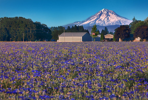 ian sane images bluesummer mount hood gervais oregon centaureacyanus cornflower bachelorsbutton field blue flowers landscape agriculture photography farm canon eos 5ds r camera ef100400mm f4556l is usm lens