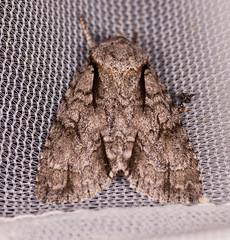 Greater Oak Dagger Moth