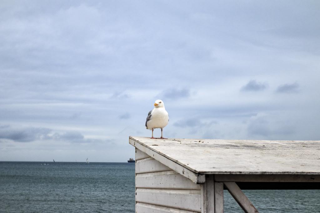 Weymouth Gulls