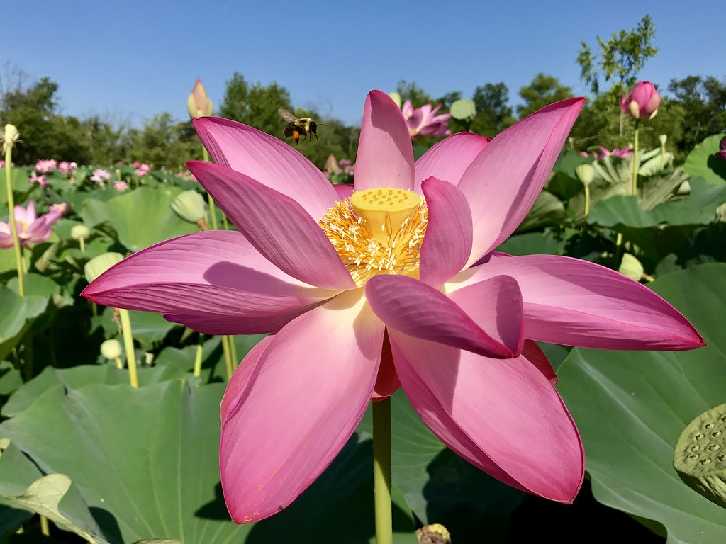 bee coming in to land on lotus flower