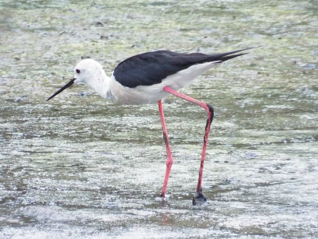 Black-Winged Stilt ... ☺