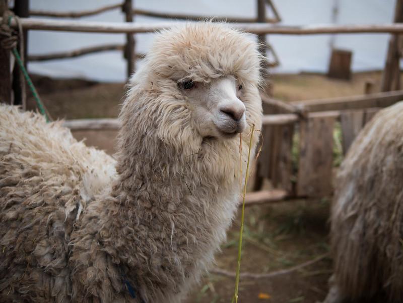 Lama - Inca Valley