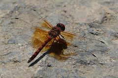 Red Rock Skimmer - Santiago Oaks Regional Park, Orange, CA 7-17-17