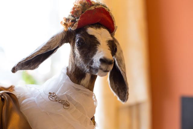 Goat Du Jour