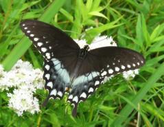 Spicebush Swallowtail - Male