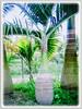 Hyophorbe lagenicaulis (Bottle Palm, Palmiste Gargoulette)