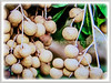 Dimocarpus longan (Longan, Lungan, Dragon's Eye, Mata Kuching in Malay)