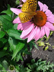 Great Spangled Fritillary Butterfly 20170702_141038-24.jpg