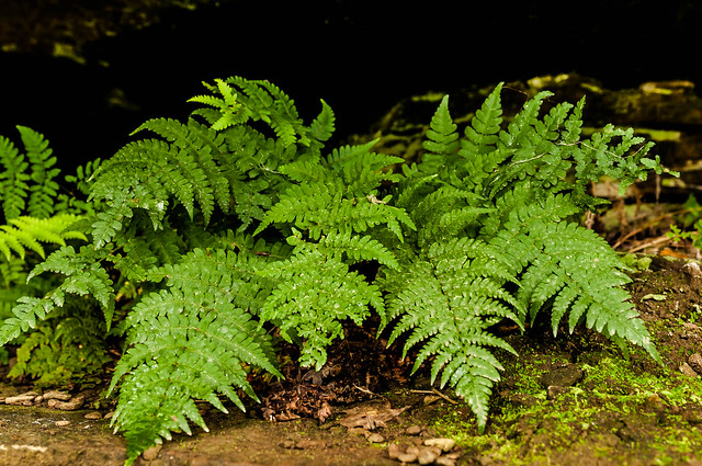 Fern in the Cuyahoga Valley National Park