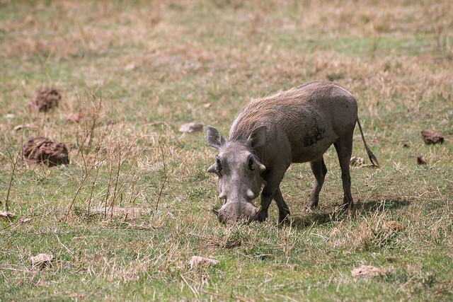 Warthog - Ngorongoro Crater