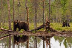 Lake bear