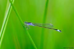 Une jolie bleue