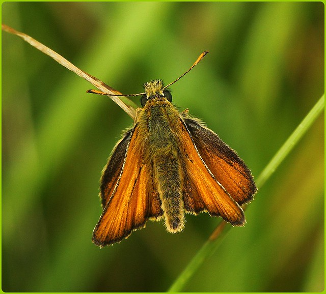 Small Skipper basking