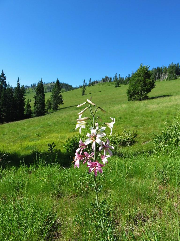 Washington lily
