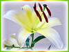 Lilium species (Lily)