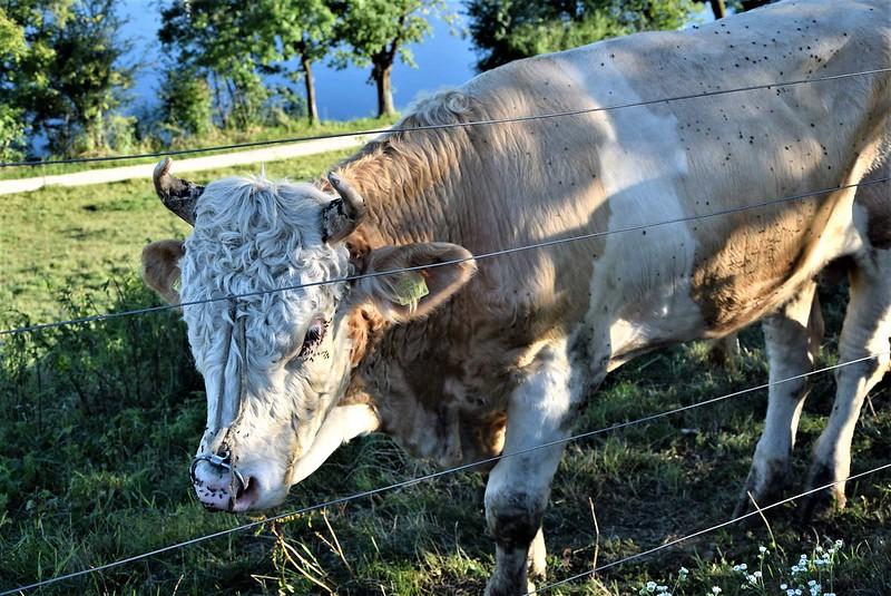 Cows 16 (4)