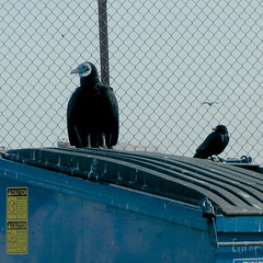 Vulture & crow on dumpster