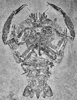 Cycleryon propinquus (fossil crustacean) (Solnhofen Limestone, Upper Jurassic; Eichstatt District, Germany) 3