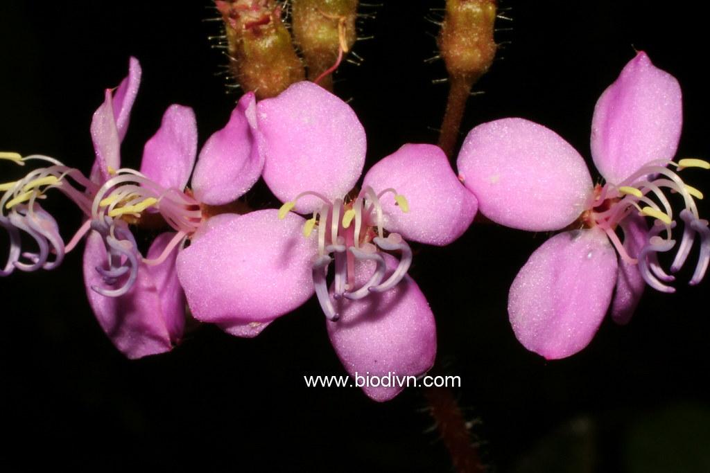 img-Phyllagathis phamhoangii 1