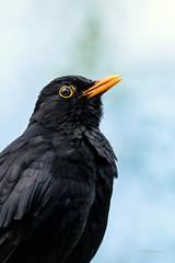 Solsort - Blackbird - Turdus merula - Emdrup -  Danmark-9293