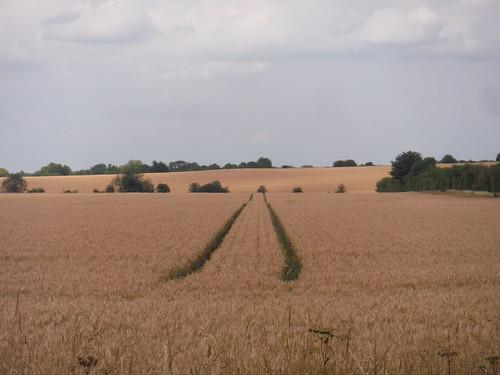 Fields next to Icknield Way