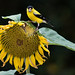 American Goldfinch (Spinus tristis), Maury County, Tennessee by kmalone98