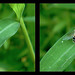 Eristalis Arbustorum Hoverfly 1 - Parallel 3D