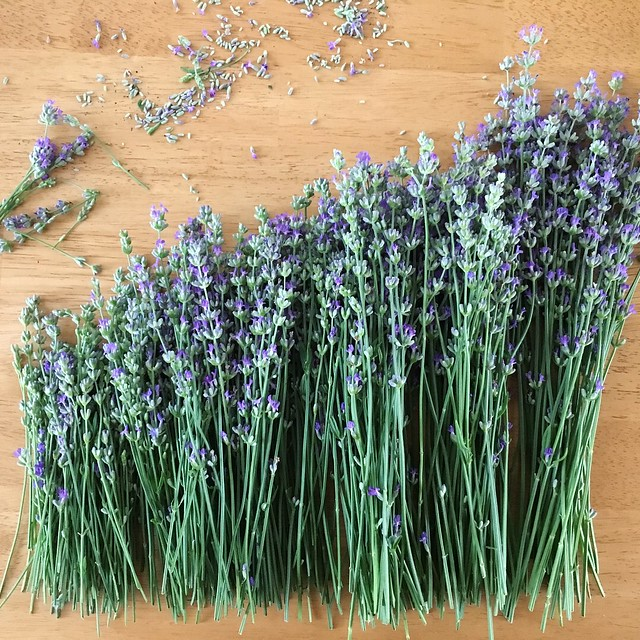Cutting lavender at home to dry