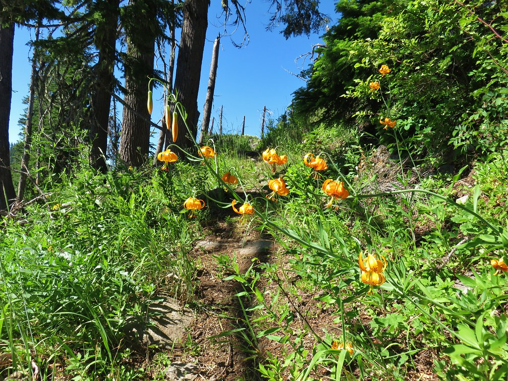 Tiger lilies along the Chucksney Mountain Trail