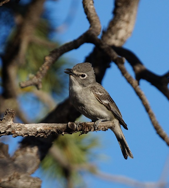 Plumbeous Vireo (#349), Sony SLT-A57, Tamron SP 150-600mm F5-6.3 Di USD