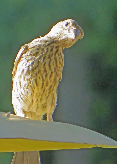 House Finch  (Carpodacus mexicanus), Canon POWERSHOT SX260 HS