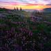 Penstemon and Sunset On Mt St Helens