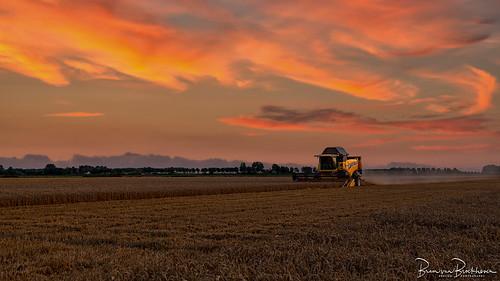 The wheat harvest has begun