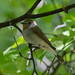 Taiga Flycatcher (Alan Curry)