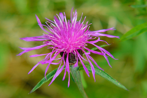 Knapweed flower, wildflower meadow, Bantock Park