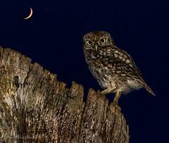 HolderLittle owl in moon little