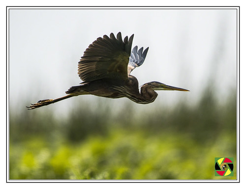 heron purpleheron vogel pássaro aves mabambaswamp uganda ug wetland ramsarsite ramsar swamp swampbirds lakevictoria bird birdsofuganda birds birdsinflight birding eastafrica