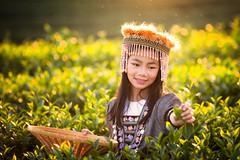 Harvest of green tea leaf by a girl