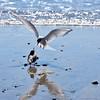 Kría (Arctic tern)