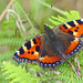 Tortoishelle Butterfly