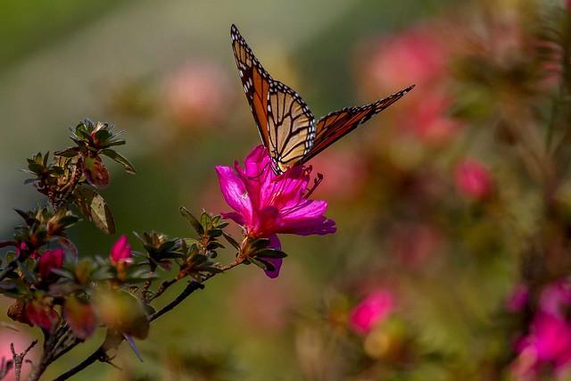 Monarch butterfly_5113